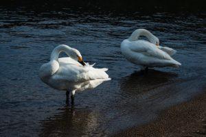 水辺にいる2羽の白鳥